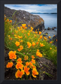Cattle Point Poppies #3