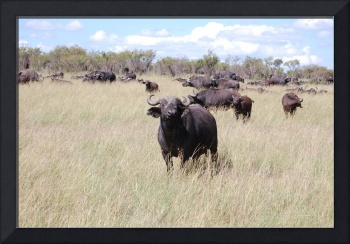 Water buffalos grazing