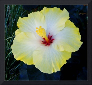 A Superb Yellow Hibiscus