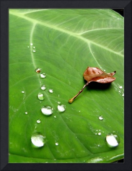 water drops on leaf, French Quarter