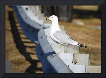 Seagull on Cape Cod