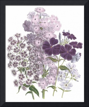 Phlox Flowers by Jane Webb Loudon
