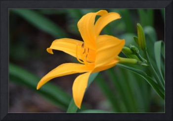 Gold on Green Daylily