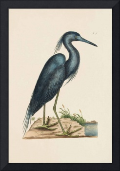 Mark Catesby~The Blue Heron, The Natural History o