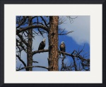 Bald Eagles in Snag by Jacque Alameddine