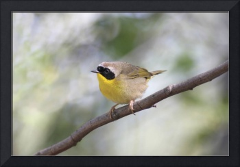 Common Yellowthroat Photograph