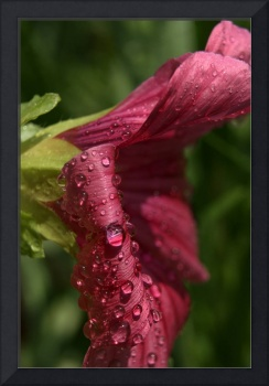 Dark Pink Flower with Water Drops