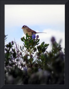 White crowned sparrow in a Ceanothus Thyrsiflorus