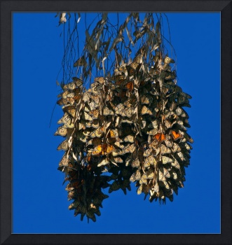 Monarch Butterfly Clusters