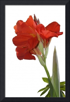 Red Canna Lily  in bloom