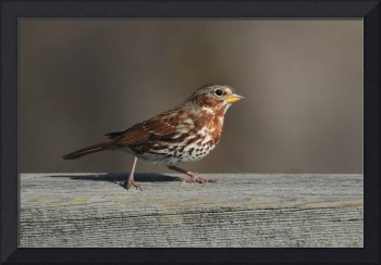 Fox Sparrow Photograph