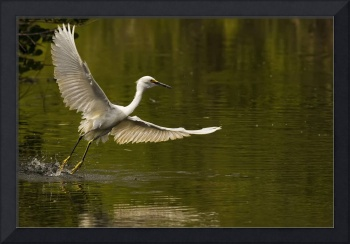 Snowy Egret Fishing In Florida, USA