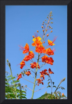 The Mexican Bird of Paradise on Blue