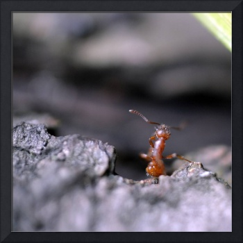 Red ant.