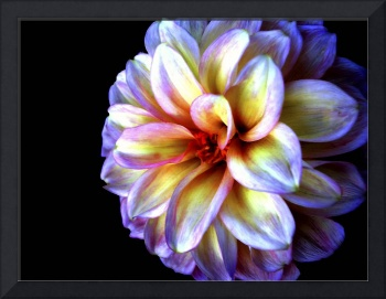 Light In Darkness Dahlia Flower