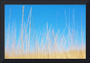Golden Grasses on a Sunny Day - Natalie Kinnear Ph
