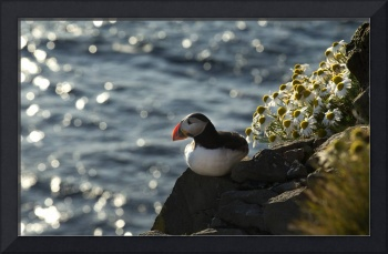 Atlantic puffin seating on rock