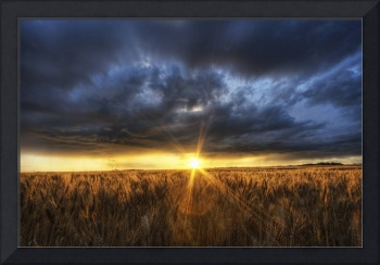 Autumn Sunset Over A Barley Field, Alberta, Canada
