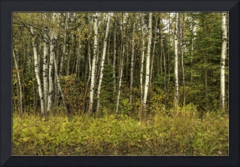 Minnesota Birches