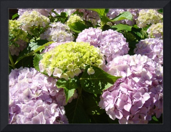 Office Art Floral Pink Hydrangea Flowers