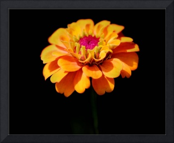 Yellow Zinnia Sunshine