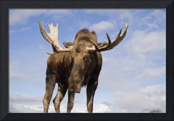 Close up and low angle view of a bull moose, Alask