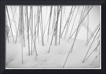 Grasses in the Snow