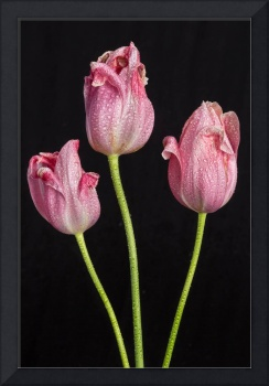 A Portrait Of Three Pink Tulips
