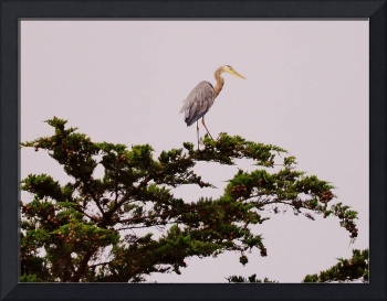 Blue Heron atop a tree