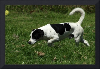Black and White Dog in a Field