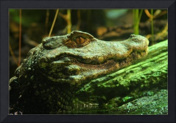 Amazon Crocodile