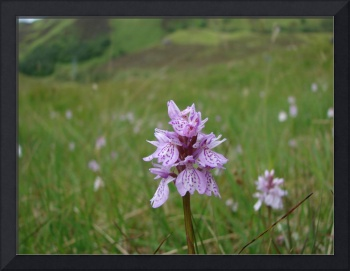 Highland Orchid