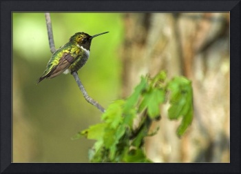 Ruby-Throated Hummingbird in tree