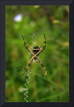 Orb Weaver Spider Behind a Web