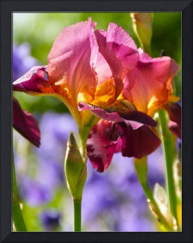 Colorful Irises