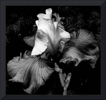 Iris In Black And White