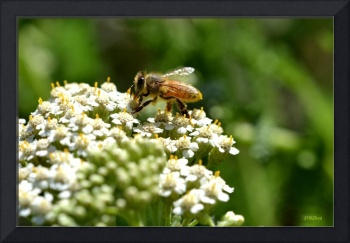Honeybee on White Flowers