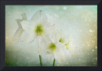Dreamy White Amaryllis