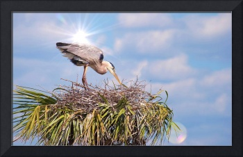 Blue Heron In A Nest