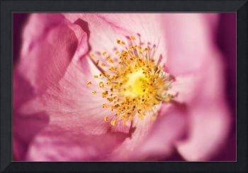 Pink Rose Flower Photographic Close Up