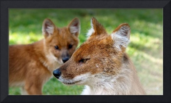 Dhole, Asiatic Wild Dog