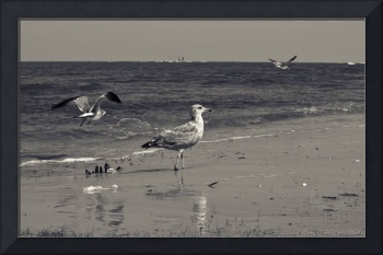 Gulls of Topsail