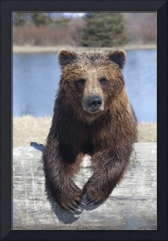 Female Brown Bear At The Alaska Wildlife Conservat