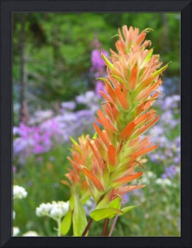 Botanical - Indian Paintbrush - Outdoors Floral