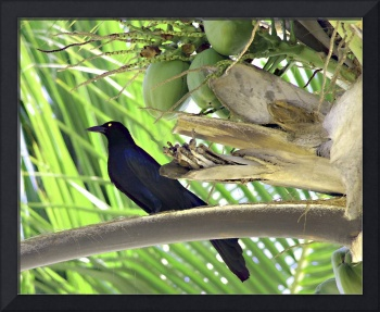 Black Bird and Coconuts