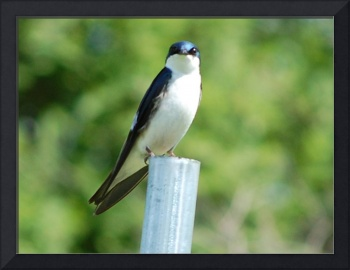Tree swallow 2