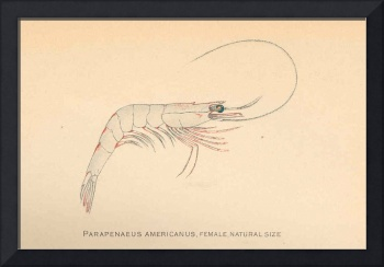 Vintage Caribbean Shrimp Diagram (1902)