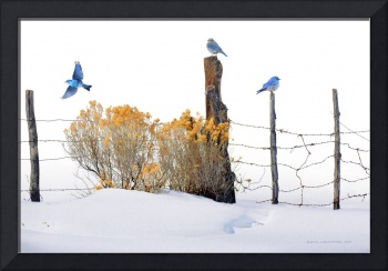 bluebirds on snowy fence row
