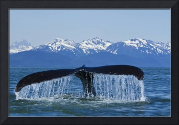 Humpback Whale fluking in Lynn Canal with Chilkat