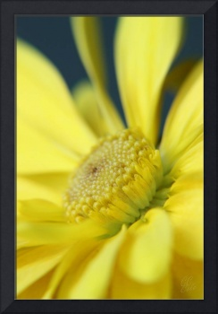 Yellow Daisy 04
